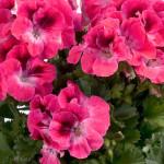 Pelargonier - Fyld selv altankasser fra Greenify