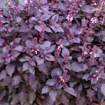 Rød Basilikum - Fyld selv altankasser fra Greenify