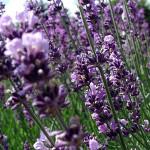 Lavendel - Fyld selv altankasser fra Greenify