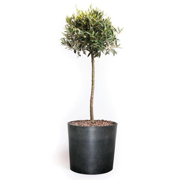oliventræ