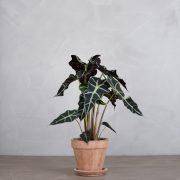 alocasia polly, elefantore