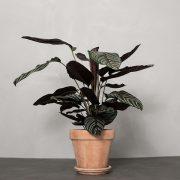 Calathea-ornata-sanderiana-Greenify