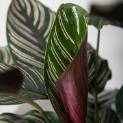 Calathea-ornata-sanderiana-Greenify-detalje2