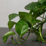 Guldranke-Greenify-detalje1
