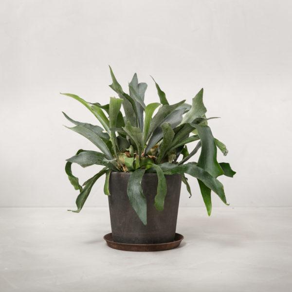 Hjortetakbregne-bregne-greenify-stueplante-600x600