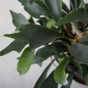 Hjortetakbregne-bregne-greenify-stueplante-detalje1-300x300