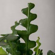 Epiphyllum detalje 2