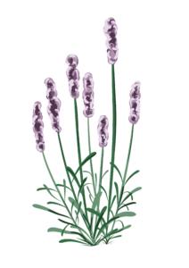Lavendel-9