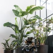 Opstammet Philodendron