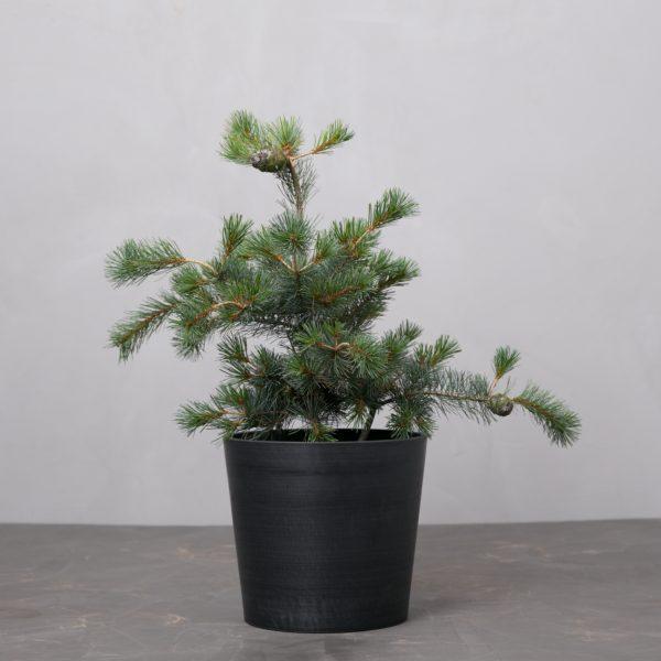 Pinus-parviflora-Negishi-penselfyr-greenify-mork-krukke-1