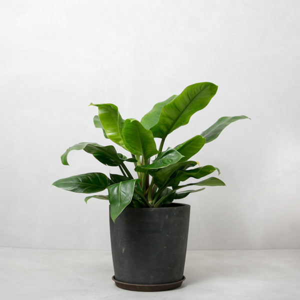 Philodendron_Imperial_Greenify
