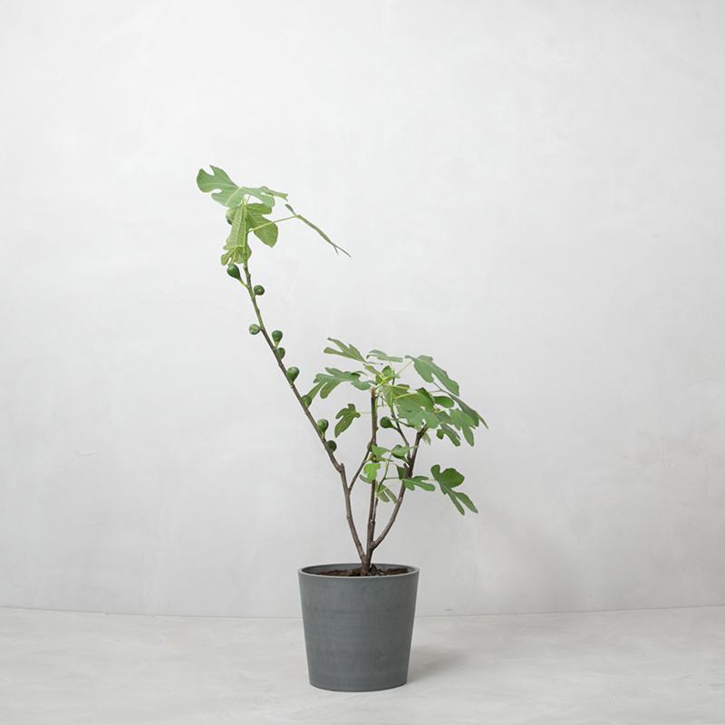 figen