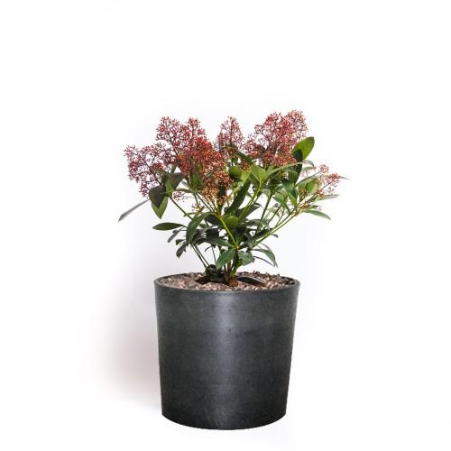 skimmia busk, udendørsplante, stedsegrøn