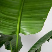 strelitzia-nicolai-moerk-lerkrukke-greenify-paradisfugl-detalje1