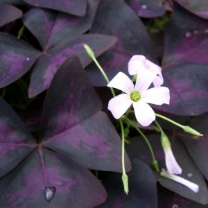 Oxalis_triangularis