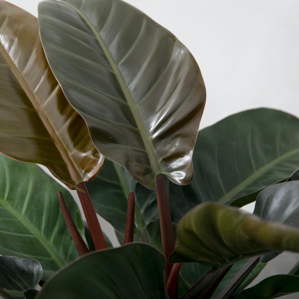 Rød Philodendron imperial