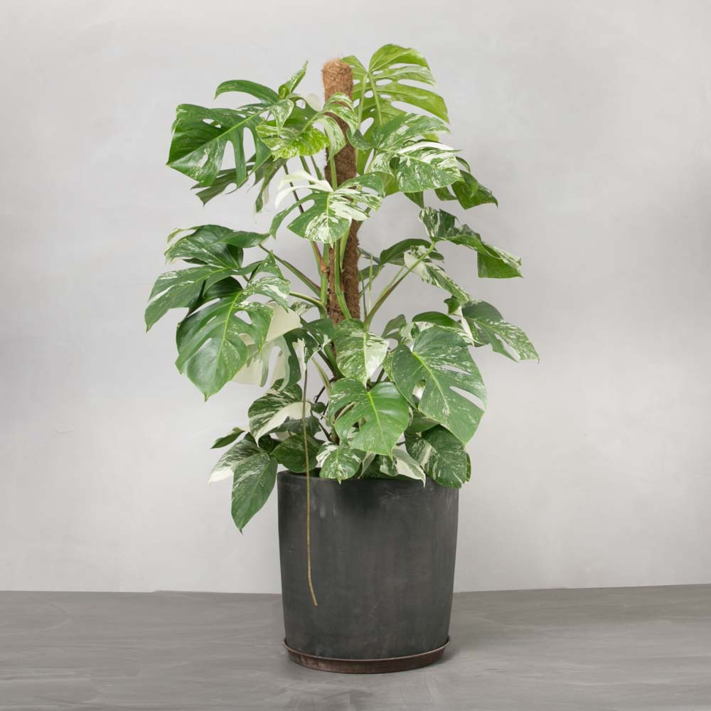 Opstammet Broget Monstera