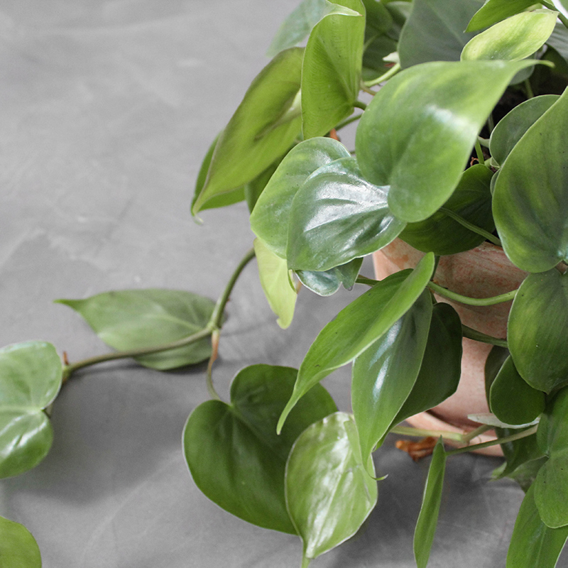 Hjertephilodendron