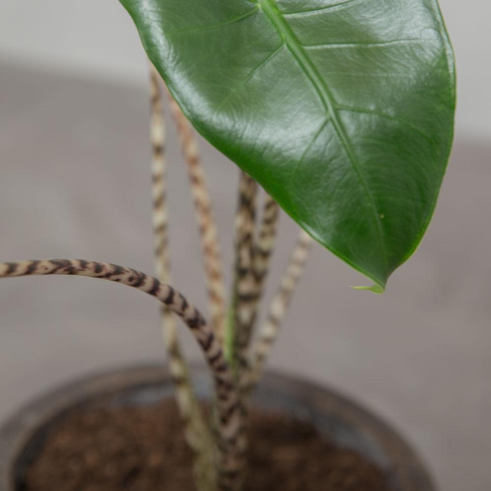 Alocasia Zebrina - Greenify