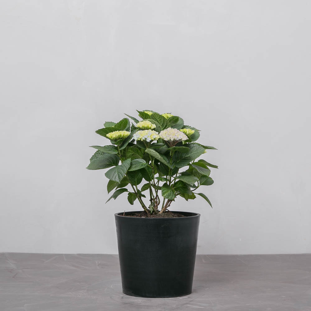 Hortensia Endless Summer - Greenify