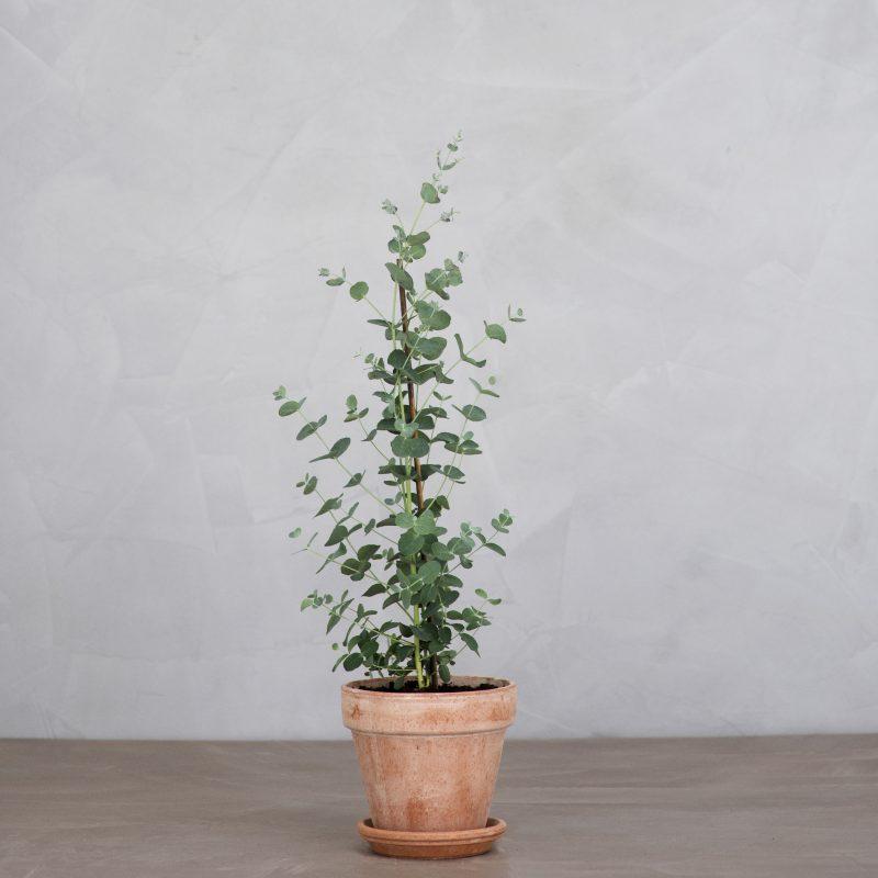 Eucalyptus - Greenify