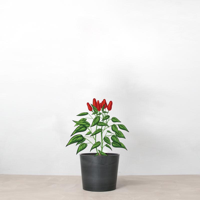 Chili i krukke