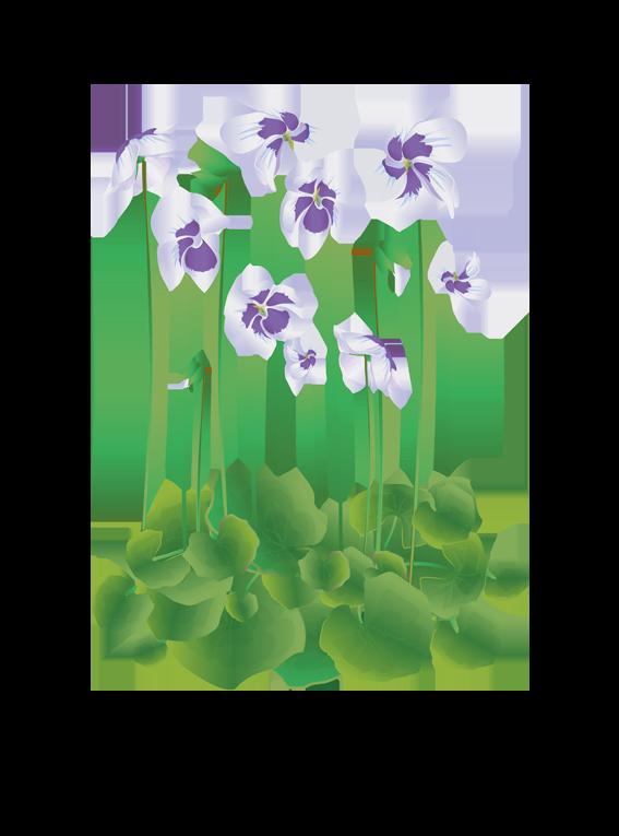 Australsk Viol - Fyld selv altankasser fra Greenify